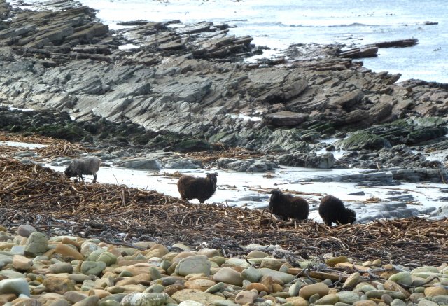 01. North Ronaldsay sheep on the beach