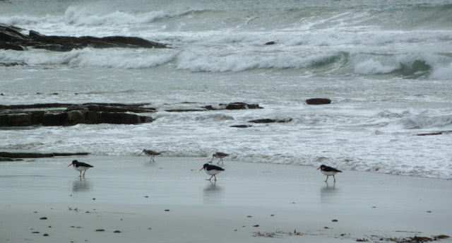 02. oyster catchers and godwitts