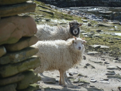 04.North Ronaldsay ewe and lamb with dyke