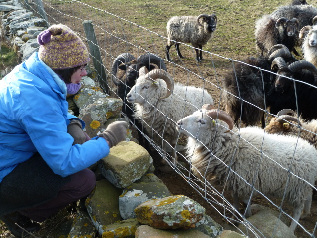 05. Cathy and North Ronaldsay rams
