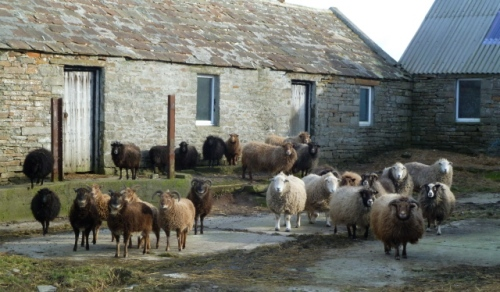 07. June's ewes - several breeds