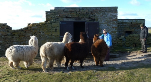 09. female alpaca at feeding time