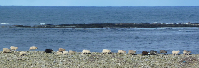 11. sheep by the lighthouse