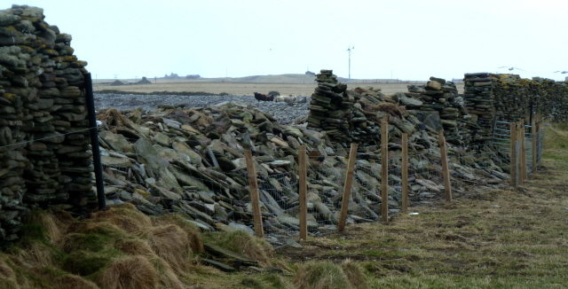 North Ronaldsay east dyke down and new fence and sheep