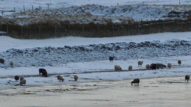 sheep on the beach in the snow close up