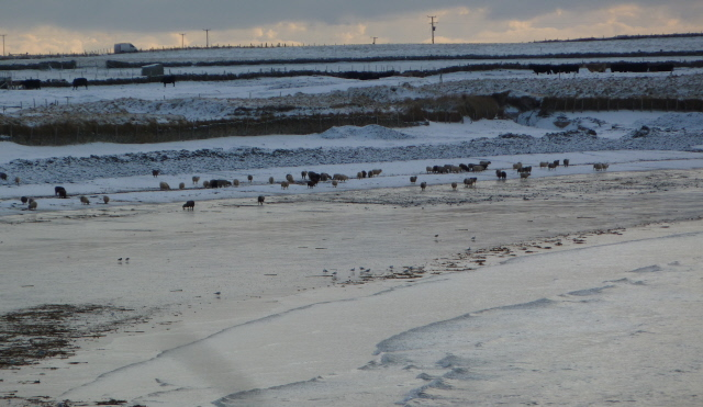 sheep on the beach in the snow