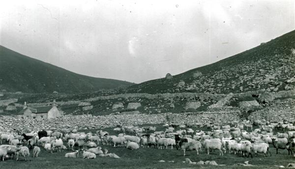 Sheep by St Kilda village in the 1920s.