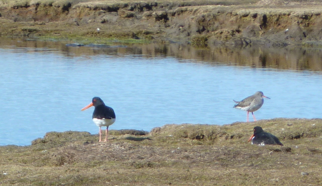 oyster catcher and redshank