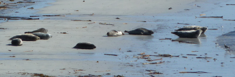 seals on Nouster beach and water 2