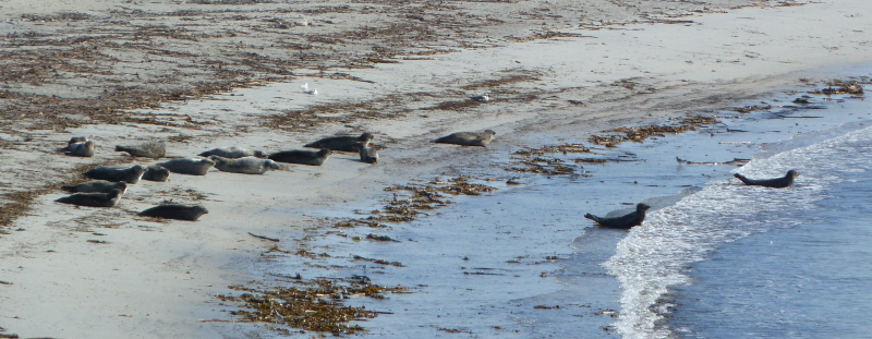 seals on Nouster beach and water