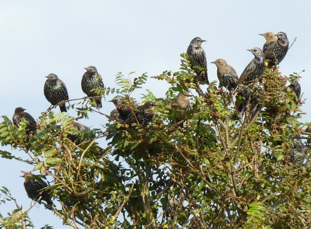 starlings in moult