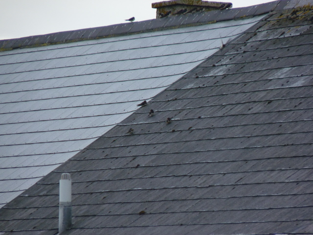 baby swallows on roof