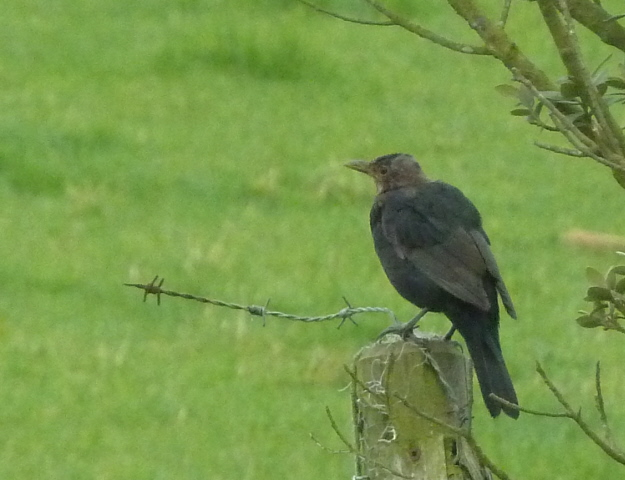 moulting blackbird