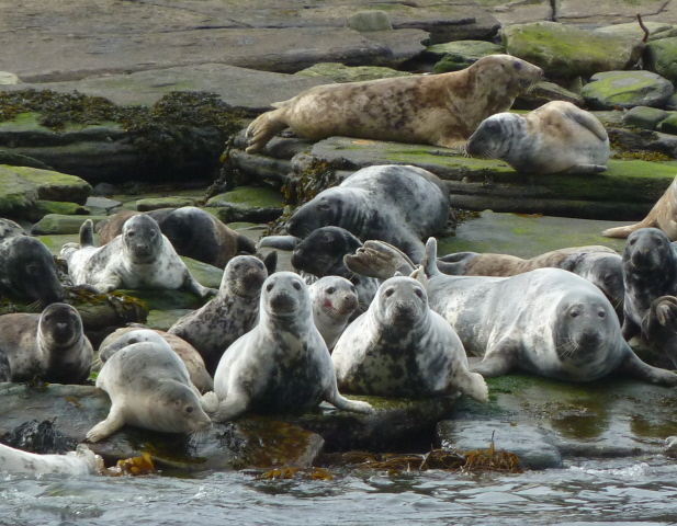 Grey seals on Switha