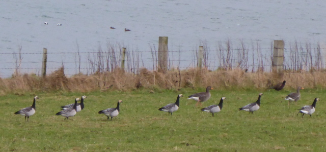 10. geese and eider