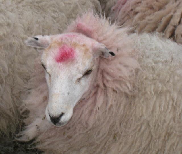 Assessing a Fleece 009