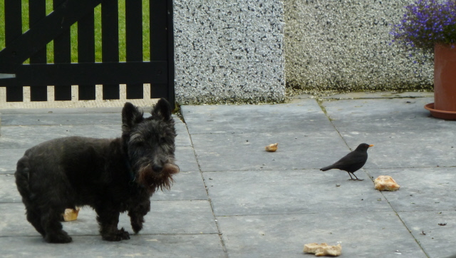 Sharing his bone with 'his' blackbird