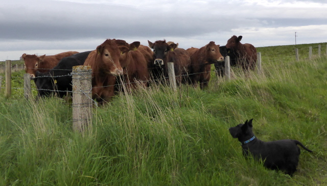 12. when Isla met cows sm