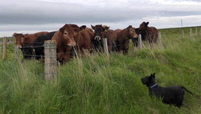 12. when Isla met cows sm