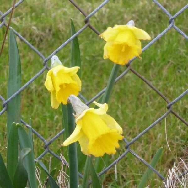 16 daffodils