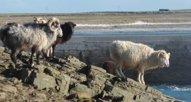 Sheep with Nouster Bay behind.