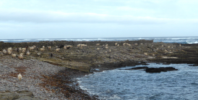 Sheep on the north coast.