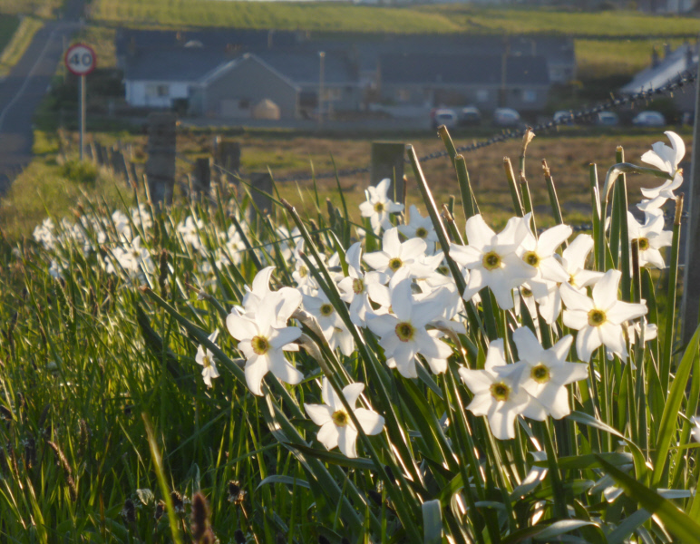 It is an Orkney tradition to plant narcissi and daffodils along road verges. These are at Saraquoy. Burnside, where I live, is in the background.
