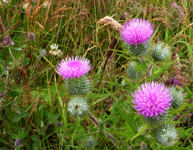 Big, beautiful thistles growing on the side of the track to the shore near my house.